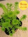 多肉植物 セダム【アカプルコゴールド】 9cmポット苗【緑のじゅうたんを作りましょう♪】