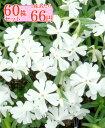 シバザクラ【モンブランホワイト】 たっぷり60株セット 1株あたり66円【花のじゅうたんを作りましょう♪】