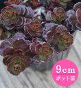 """多肉植物 セダム【スプリウム""""ドラゴンズブラッド""""】 9cmポット苗【緑のじゅうたんを作りましょう♪】"""