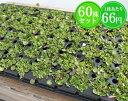 ダイコンドラ たっぷり60株セット 1株あたり67円【緑のじゅうたんを作りましょう♪】