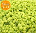 多肉植物 セダム【ゴールデンカーペット】 9cmポット苗【緑のじゅうたんを作りましょう♪】