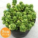 多肉植物 セダム【白花タイトゴメ】 9cmポット苗【緑のじゅうたんを作りましょう♪】