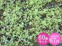 クリーピングタイム【赤花】 たっぷり60株セット 1株あたり67円【香りのじゅうたんを作りましょう♪】