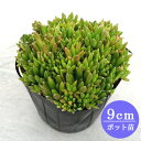 【多肉植物 オロスタキス】ツメレンゲ 9cmポット苗【緑のじゅうたんを作りましょう♪】