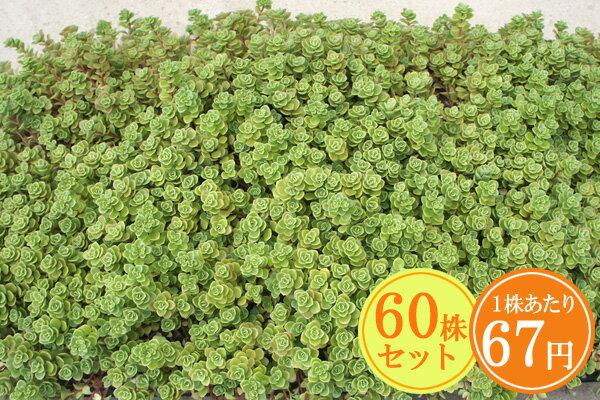 多肉植物 セダム【マキノイ】 たっぷり60株セット 1株あたり67円【香りのじゅうたんを作りましょう♪】