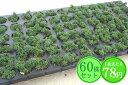 多肉植物 セダム【アメリカンチェリー】 たっぷり60株セット 1株あたり78円【緑のじゅうたんを作りましょう♪】