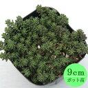 多肉植物 セダム【アメリカンチェリー】 9cmポット苗【緑のじゅうたんを作りましょう♪】