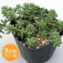 多肉植物 セダム【アルブム f/フランス】 9cmポット苗【緑のじゅうたんを作りましょう♪】