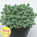 多肉植物 セダム【ブルーカデット】 9cmポット苗【緑のじゅうたんを作りましょう♪】
