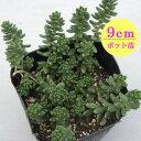 多肉植物 輸入セダム【Loconicum】 9cmポット苗【緑のじゅうたんを作りましょう♪】