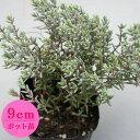 多肉植物 クラッスラ【パンクチュラータ】 9cmポット苗【緑のじゅうたんを作りましょう♪】