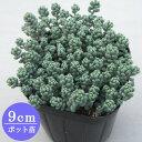 多肉植物 セダム【ダシフィルム リファレンス】 9cmポット苗【緑のじゅうたんを作りましょう♪】