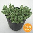 多肉植物 輸入セダム【lanceolatum】 9cmポット苗【緑のじゅうたんを作りましょう♪】