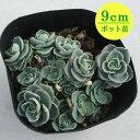 多肉植物 セダム【ミセバヤ】 9cmポット苗【緑のじゅうたんを作りましょう♪】
