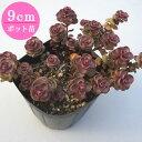 【紅葉】多肉植物 セダム【スプリウム】 9cmポット苗【緑のじゅうたんを作りましょう♪】