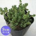 多肉植物 セダム【屋久島タイトゴメ】 9cmポット苗【緑のじゅうたんを作りましょう♪】