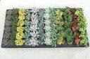 多肉植物(セダム等) おまかせ12種 たっぷり60株セット 1株あたり80円【緑のじゅうたんを作りましょう♪】