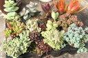 多肉植物 ことぶき エケベリア