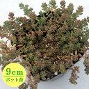 多肉植物 輸入セダム【tereti folium】 9cmポット苗【緑のじゅうたんを作りましょう♪】