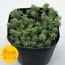 多肉植物 輸入セダム【urvillei】 9cmポット苗【緑のじゅうたんを作りましょう♪】