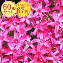 シバザクラ【あかつき】 たっぷり60株セット 1株あたり67円【花のじゅうたんを作りましょう♪】
