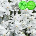 シバザクラ【エメラルドクッション(白花)】 30株セット 1株あたり83円【ことぶきプラグ苗ハーフ】