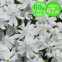 シバザクラ【エメラルドクッション(白花)】 たっぷり60株セット 1株あたり67円【花のじゅうたんを作りましょう♪】