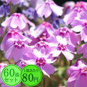 シバザクラ【花笠乙女】 たっぷり60株セット 1株あたり80円【花のじゅうたんを作りましょう♪】