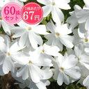 シバザクラ【初恋】 たっぷり60株セット 1株あたり67円【花のじゅうたんを作りましょう♪】