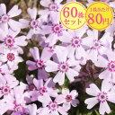 シバザクラ【ひなの道具】 たっぷり60株セット 1株あたり80円【花のじゅうたんを作りましょう♪】