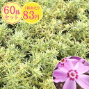 シバザクラ【斑入り】 たっぷり60株セット 1株あたり80円【花のじゅうたんを作りましょう♪】