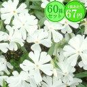 シバザクラ【カルビデスホワイト】 たっぷり60株セット 1株あたり67円【花のじゅうたんを作りましょう♪】