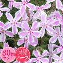 シバザクラ【キャンディストライプ】 30株セット 1株あたり83円【ことぶきプラグ苗ハーフ】