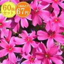 シバザクラ【極光】 たっぷり60株セット 1株あたり67円【花のじゅうたんを作りましょう♪】