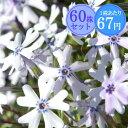 シバザクラ【ライトブルー】 たっぷり60株セット 1株あたり67円【花のじゅうたんを作りましょう♪】