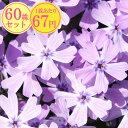 シバザクラ【パープルアイ】 たっぷり60株セット 1株あたり67円【花のじゅうたんを作りましょう♪】