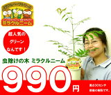 『5鉢買うと』害虫バイバイ!ミラクルニーム 樹高30センチ前後 4号鉢 990円 【rsf...