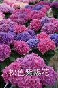 【送料無料】秋色紫陽花(秋色あじさい) 5号(15センチ鉢)全8色【季節限定】【6月上旬は秋色に変化しています!画像の花色とは違い秋色アジサイとなりますのでご注意を。】【RCP】