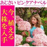 【現在、枝だけの状態です(お花が咲くのは翌年です)】【】アメリカアジサイ ピンクアナベル 5寸大株【良いものから出荷しますので、遅い方は枝振りが少々少なくなります。】【ラッピング・