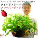 【送料無料】ワイルドストロベリー フレーズデボア 9寸(直径27センチ)鉢 実付き 苺 いちご ストロベリー
