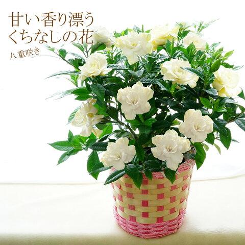 母の日 ギフト 花 送料無料 八重咲き!甘い香り漂うクチナシの花(くちなし 梔子) 香る鉢植え