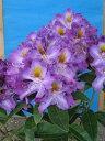 ローディー ブルームーン 6号大株 シャクナゲ 石楠花 秋植えに最適 英国で人気の花木!1つの蕾から