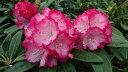 ローディー ぼんぼり 6号大株 シャクナゲ 石楠花 秋植えに最適 英国で人気の花木!1つの蕾から10