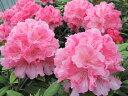 ローディー ハイドンハンター 6号大株 シャクナゲ 石楠花 秋植えに最適 英国で人気の花木!1つの蕾