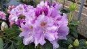 ローディー 舞娘(まいこ) 6号大株 石楠花 秋植えに最適 英国で人気の花木!1つの蕾から10輪以上