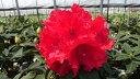 ローディー マーキーターズ 6号大株 シャクナゲ 石楠花 秋植えに最適 英国で人気の花木!1つの蕾か