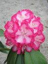 ローディー リージェント 6号大株 シャクナゲ 石楠花 秋植えに最適 英国で人気の花木!1つの蕾から