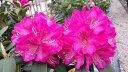 ローディー 太陽(たいよう) 6号大株 シャクナゲ 石楠花 秋植えに最適 英国で人気の花木!1つの蕾から10輪以上の花が咲く!【シャクナゲ同士の同梱可能】【メッセージカード・ラッピング・代引き不可→コンビニ決済へ変更】