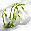 【2月咲き】球根 スノードロップ 5球セット 秋植えで早春のまだ寒い時期に咲き始める水仙の仲間!年を重ねるごとに花数がどんどん増えます!【メール便限定 送料無料...