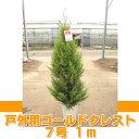 ゴールドクレスト(戸外用) 7号 約1m 【農家直送・送料無料】【クリスマスツリー】【ラッピング・メッセージカード不可】【代引不可】【RCP】